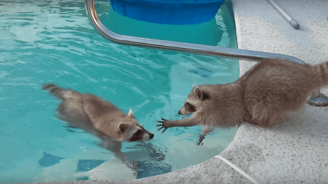 Goedgevoel for Animaux gonflable piscine